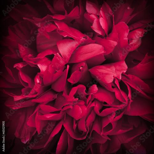 Fotografia Peony Flower