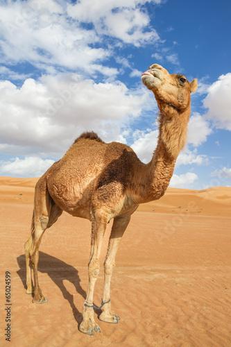 Spoed Fotobehang Kameel Camel in Wahiba Oman