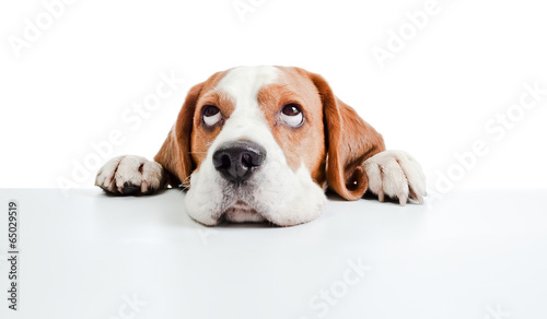 Stampa su Tela beagle head isolated on  white