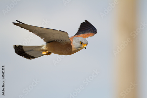 Rötelfalke Männchen fliegend