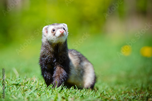 Vászonkép  adorable ferret portrait