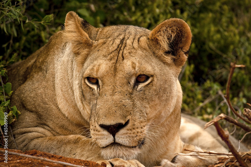 Lioness resting head on paws Poster