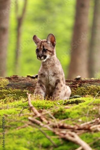 Staande foto Puma Puma kitten
