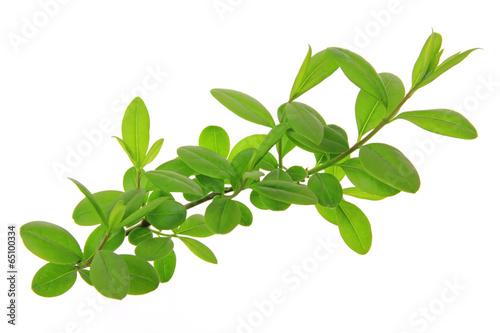 Liguster (Ligustrum vulgare) Obraz na płótnie