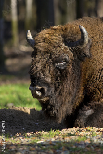 Fényképezés  bison resting in a forest clearing