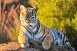 Tygrys leżący na skale w świetle zachodzącego słońca