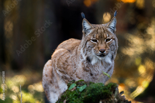 Poster Lynx Close-up portrait of an Eurasian Lynx in forest (Lynx lynx)