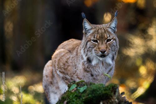 Foto auf Leinwand Luchs Close-up portrait of an Eurasian Lynx in forest (Lynx lynx)