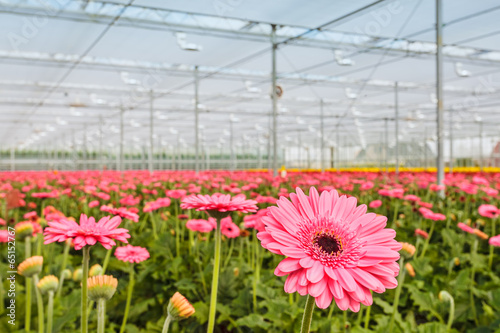 Photographie Blooming pink gerberas in a Dutch greenhouse