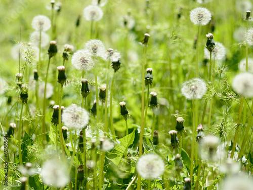 dandelions-na-zielonej-lace