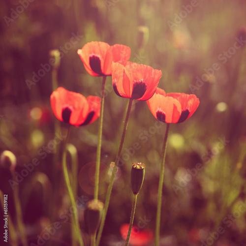 Poppy flowers retro look