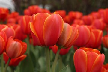 fototapeta  tulipany w rozkwicie