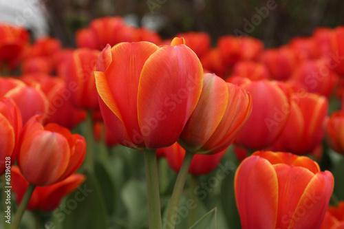 Papiers peints Tulip Spring tulips in full bloom, Tulip Festival in Ottawa, Canada