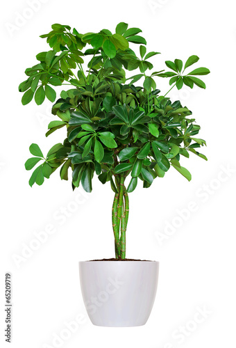 Papiers peints Vegetal Houseplant - yang Schefflera a potted plant isolated over white