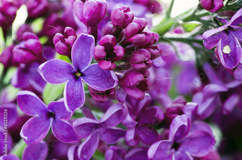 Fotobehang Macro Blooming lilac flowers. Abstract background. Macro photo.