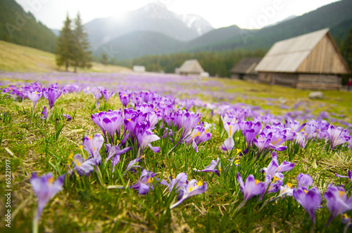 Cadres-photo bureau Crocus Spring meadow in mountains full of crocus flowers in bloom