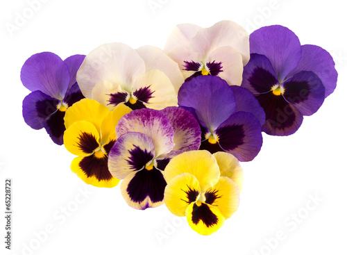Pansies Spring garden flowers - pansies aka violas. Purple yellow