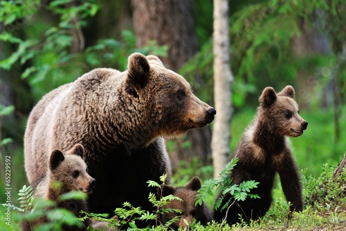 Fotografie, Obraz Brown bear with cubs in forest