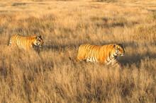 Pair Of Tigers On Patrol In Their Territory