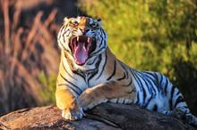 A Yawning Tiger