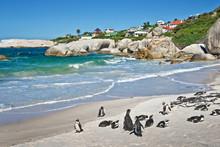 African Penguins, Boulders National Park, South Africa