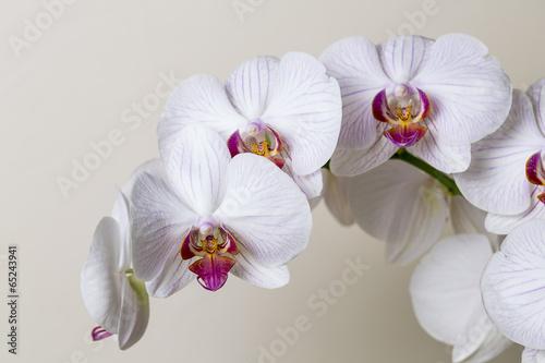 weiße orchideen blüte close-up