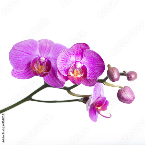 Garden Poster Orchid orchid isolated on white