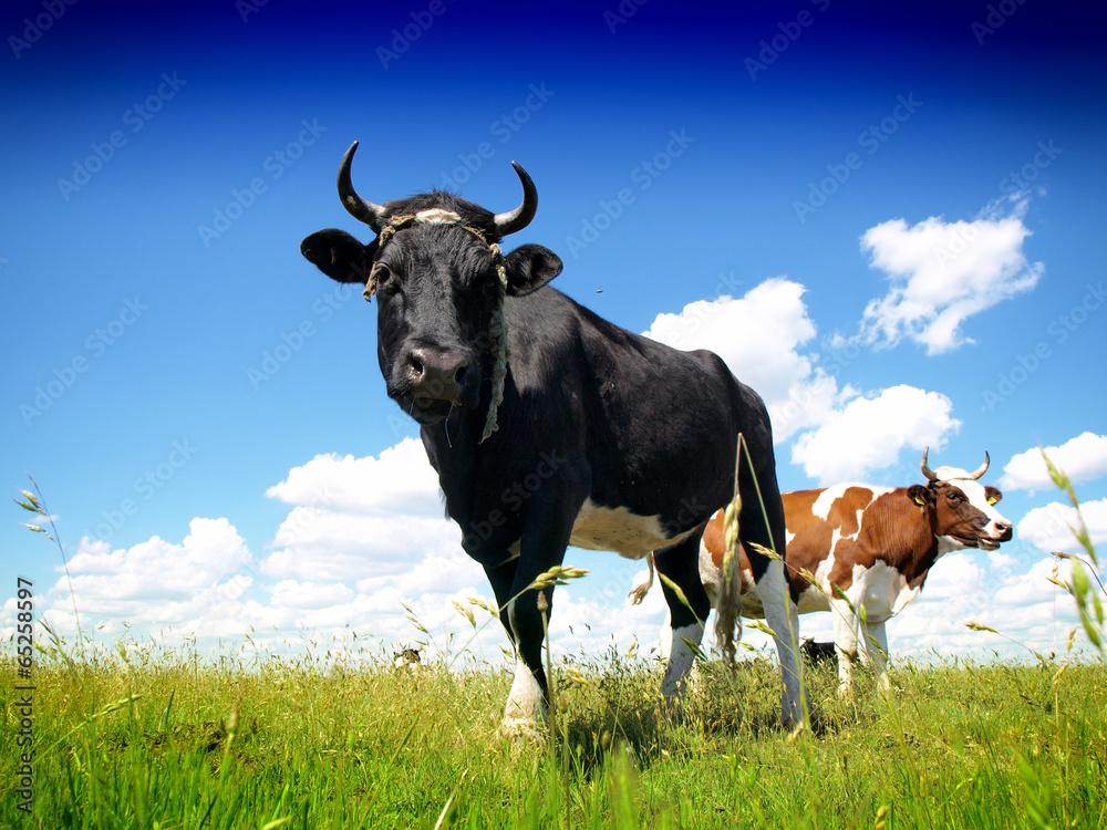 Fototapeta Cows on a green summer meadow