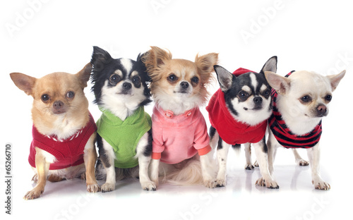 Poster Chien dressed chihuahuas