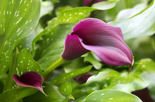 Purple Calla Lily With Many Le...