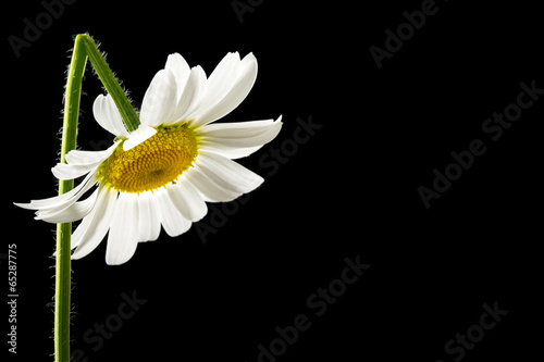 Foto op Canvas Madeliefjes Beautiful fresh white summer daisy