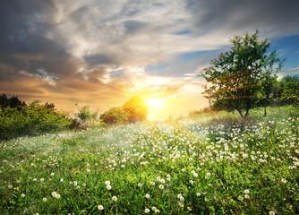Fototapeta Dmuchawce Sunrise over dandelions