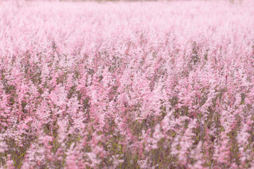 Fototapeta Pink field , pink meadow