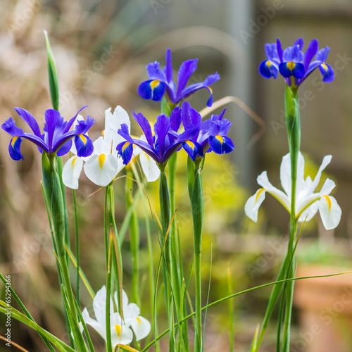 Fototapeta Iris At Springtime obraz na płótnie