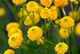 "The yellow flowers of Ranunculus acris ""flore pleno""."