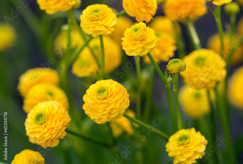 "Photo The yellow flowers of Ranunculus acris ""flore pleno""."