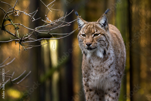 Photo Stands Lynx Close-up portrait of an Eurasian Lynx in forest (Lynx lynx)