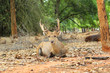 sika deer in the nature