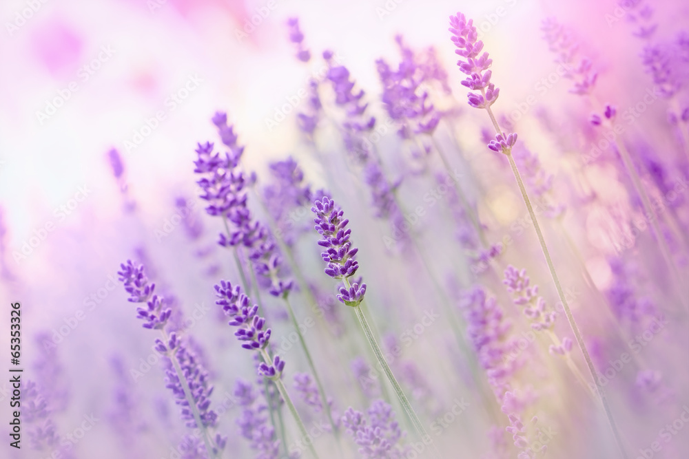 Fototapeta Beautiful lavender