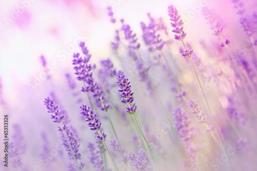 Obraz Piękna lawenda - fototapety do salonu