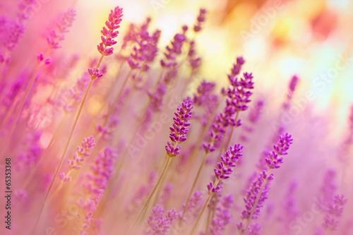 Fototapeta Lavender in flower garden obraz na płótnie