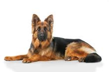 German Shepherd Dog Lying Isol...
