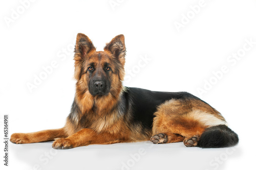 Fototapeta German shepherd dog lying isolated on white background