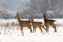 Roe Deer Herd In Winter