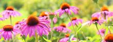 Echinacea Blütenpracht