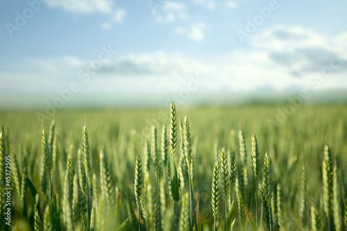 Green field and bright sun