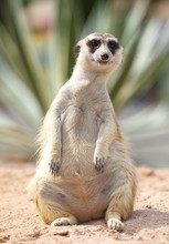 Lonely Meerkat Sitting And Loo...