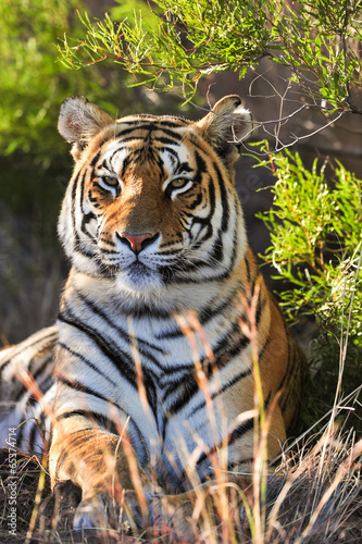 Obraz na plátně Portrét tygr
