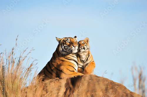 Fotografie, Obraz  A mother tiger and her cub