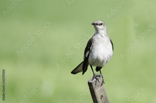 Photo  Northern Mockingbird on fence